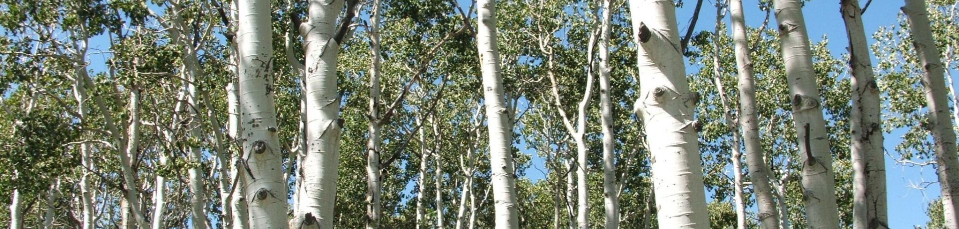 Aspen (Populus_tremuloides)