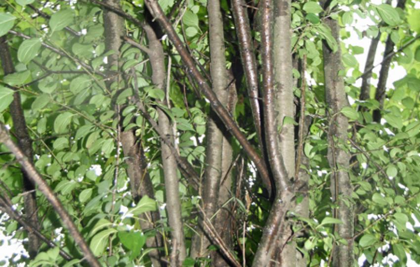 One of many invasive species- Buckthorn