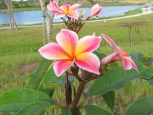 Nationally Accredited Plumeria CollectionTM at Naples Botanical Garden.